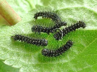 Eiraupen Kleines Nachtpfauenauge Saturnia ( Eudia ) pavonia Emperor Moth