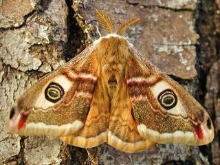 M�nnchen Kleines Nachtpfauenauge Saturnia ( Eudia ) pavonia Emperor Moth