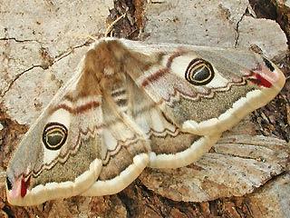 Weibchen Kleines Nachtpfauenauge Saturnia ( Eudia ) pavonia Emperor Moth