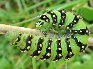 Erwachsene Raupe Kleines Nachtpfauenauge Saturnia ( Eudia ) pavonia Emperor Moth
