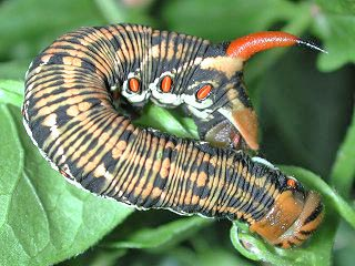 Windenschw�rmer Agrius convolvuli Convolvulus Hawk-moth