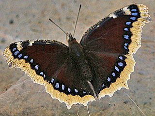 Trauermantel Nymphalis antiopa Camberwell Beauty Mourning Cloak