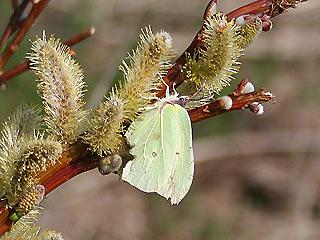 Weibchen Zitronenfalter Brimstone Gonepteryx rhamni