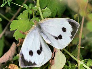 Weibchen Großer Kohlweißling Large White Pieris brassicae