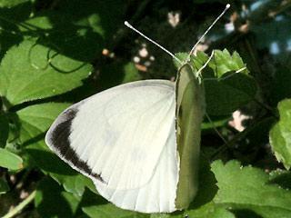 Männchen Großer Kohlweißling Pieris brassicae Large White