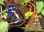 Der fertige Schmetterling : Gr. u. Kl. Schillerfalter ( Edelfalter , Apatura iris / ilia )